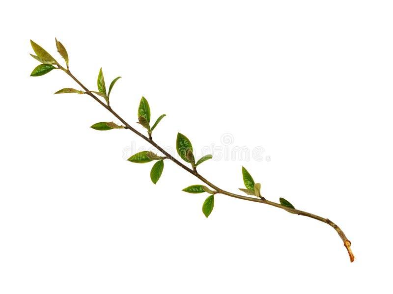 Frühlingszweige mit kleinen grünen Blättern und den Knospen lizenzfreie stockfotos