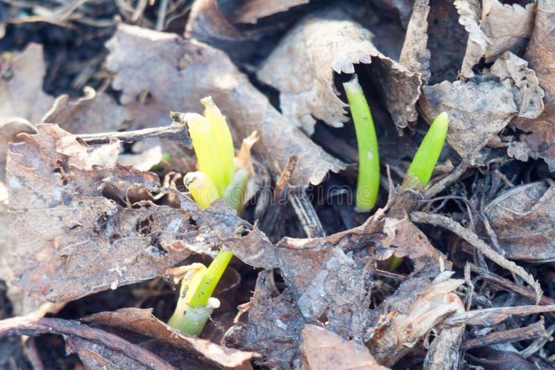 Frühlingszwiebelsprösslinge stockfoto