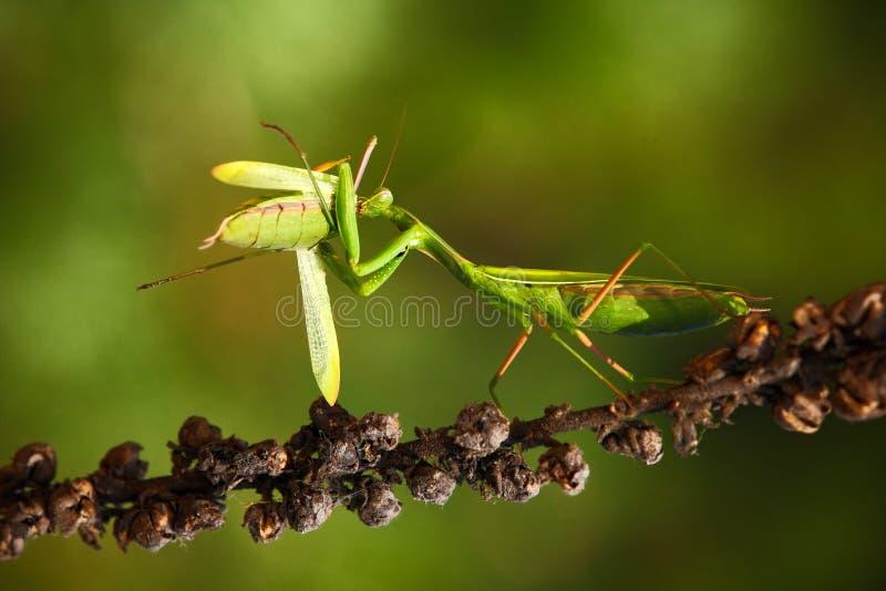 Frühmette, die Gottesanbeterinnen, zwei grüne Insektengottesanbeterinnen auf Blume, Gottesanbeterin religiosa, Actionszene, Tsche lizenzfreies stockbild