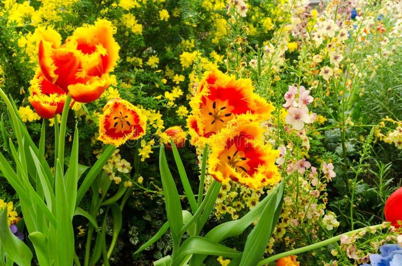 Frędzlasty rewolucjonistka tulipan kwitnie w ogródzie obrazy stock