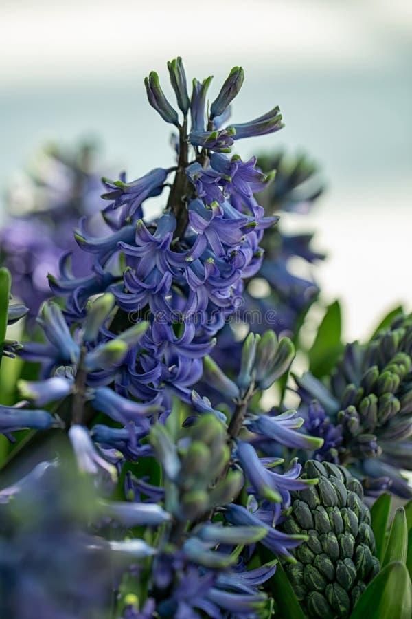 Fr?hling und romantisches Konzept des Sommers Die Hyazinthe kommt von einer kleinen Klasse von aromatischen Blumen, die nett riec lizenzfreie stockfotografie