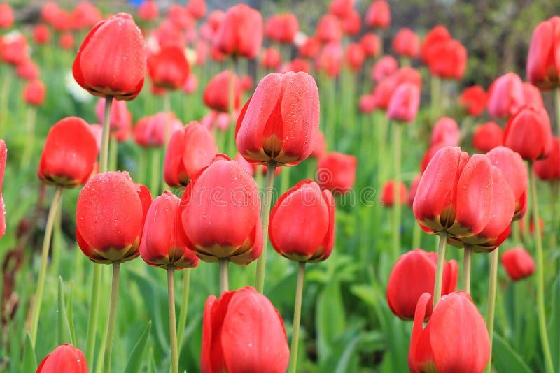 Fr?hling unscharfer Hintergrund mit bokeh und Tulpenfeld, abstrakte erste Blumen auf bokeh Hintergrund bei Sonnenuntergang lizenzfreie stockfotografie