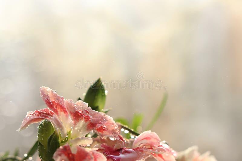 Fr?hling verwischte Hintergrund mit bokeh und Gartennelken nach Regen im Garten, selektiver Fokus, lizenzfreies stockfoto