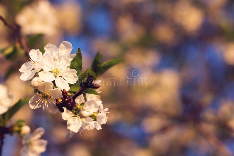 Fr?hlingsbaumbl?hen Bl?tennahaufnahme der Kirschbaumniederlassung im Fr?hjahr Blumen, die bei Sonnenuntergang bl?hen Kopieren Sie lizenzfreie stockfotografie