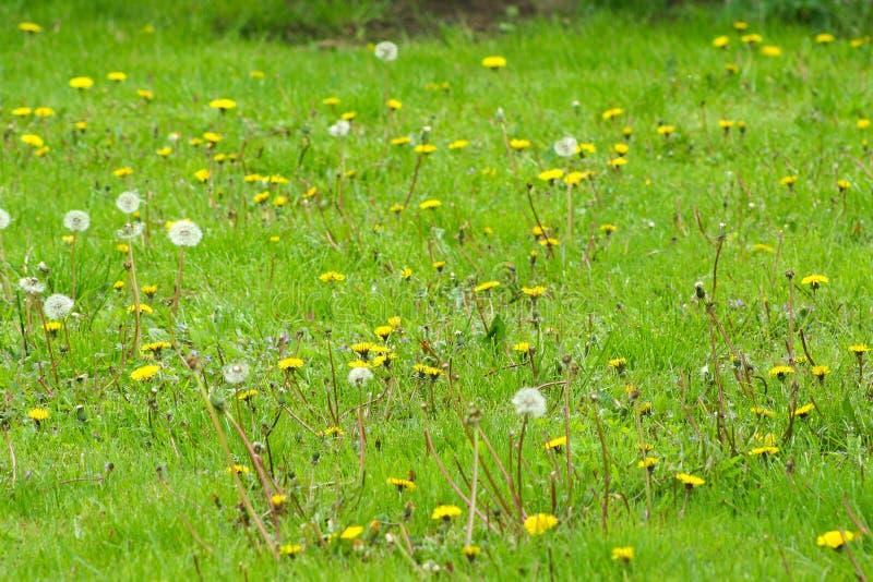 Fr?hlingsblumen des L?wenzahns field Flaumiger L?wenzahn Teil einer Wiese im Hintergrund stockbild