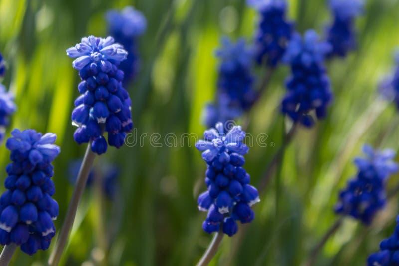 Fr?hlingsblumen, Traubenhyazinthe Muscari Trauben-Hyacinth Muscari-armeniacum Bl?te im Vorfr?hling lizenzfreies stockfoto