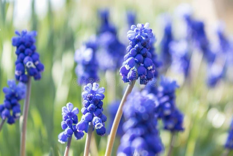 Fr?hlingsblumen, Traubenhyazinthe Muscari Trauben-Hyacinth Muscari-armeniacum Bl?te im Vorfr?hling lizenzfreie stockbilder