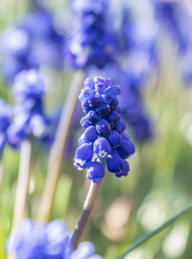 Fr?hlingsblumen, Traubenhyazinthe Muscari Trauben-Hyacinth Muscari-armeniacum Bl?te im Vorfr?hling stockfotografie