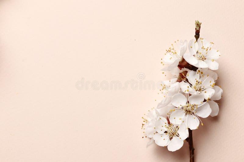 Fr?hlingsblumenhintergrund, -beschaffenheit und -tapete Flach-Lage von wei?en Mandelbl?tenblumen und -blumenbl?ttern ?ber rosa Hi lizenzfreies stockfoto