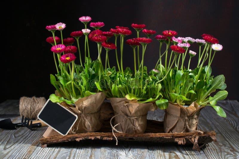 Fr?hlingsgarten bearbeitet Konzept Gartenarbeitwerkzeuge, Blumen in den T?pfen und Gie?kanne auf Holztisch lizenzfreie stockbilder