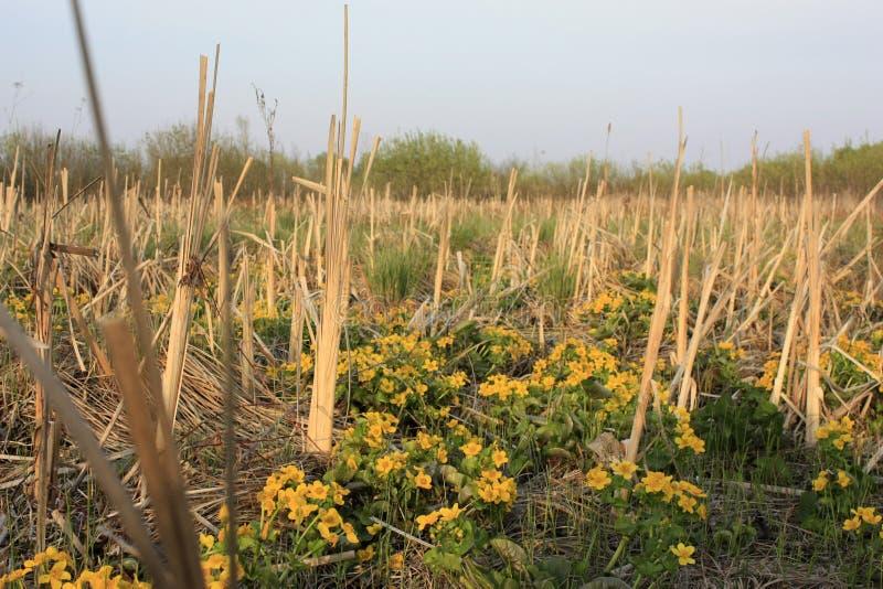 Fr?hlingshintergrund mit gelben Bl?tenpflanzen der Goldfarbe im Vorfr?hling Sch?ne gelbe Blumen Die Pracht des Sumpfes lizenzfreie stockbilder