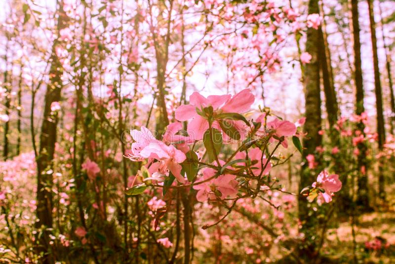 Fr?hlingshintergrund von bl?henden Blumen Wei?e und rosafarbene Blumen Sch?ne Naturszene mit einem bl?henden Baum Gerade ein gere lizenzfreies stockbild