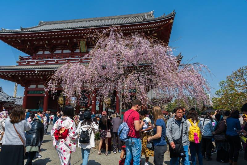 Fr?hlingskirschbl?ten an das Hozomon-Tor Sensoji-Tempels mit nicht identifiziertem Touristen, Tokyo, Japan stockbilder