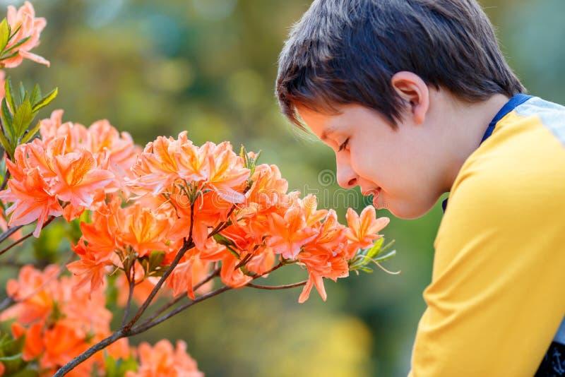 Fr?hlingsportr?t von netten attraktiven 10-j?hrigen Junge riechenden bl?henden rosa Rhododendron im Garten lizenzfreie stockfotografie