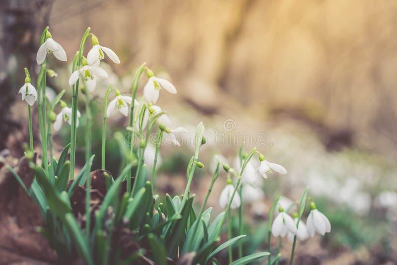 Fr?hlingswald mit snowdrops lizenzfreies stockbild