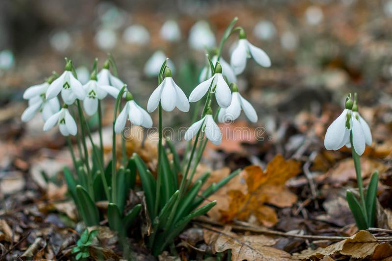 Fr?hlingswald mit snowdrops lizenzfreie stockfotos