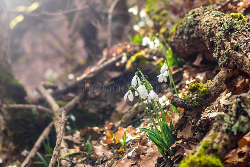 Fr?hlingswald mit snowdrops stockbild