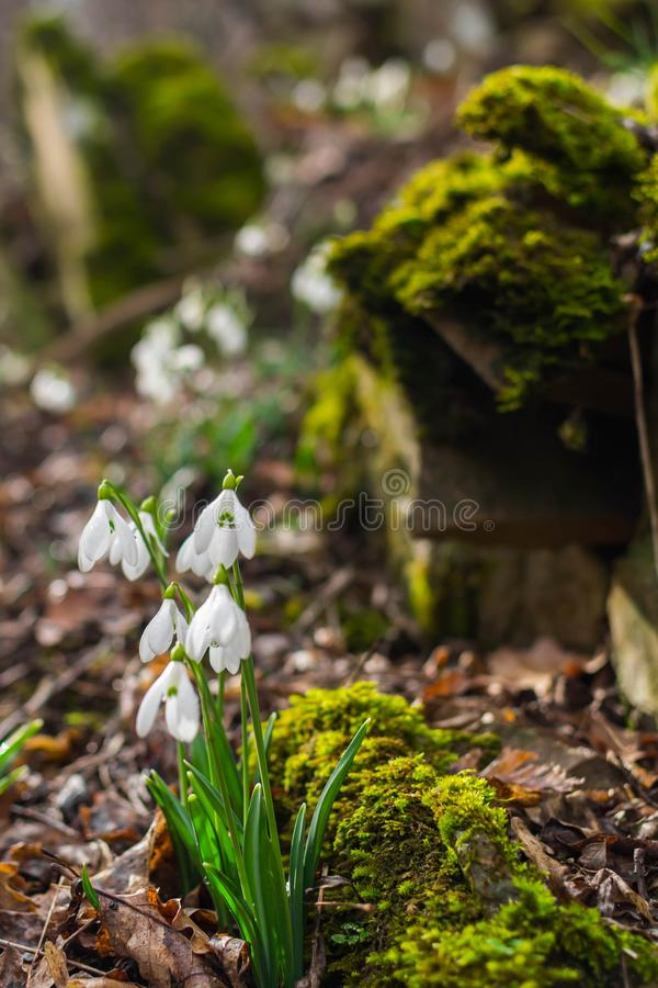 Fr?hlingswald mit snowdrops stockbilder
