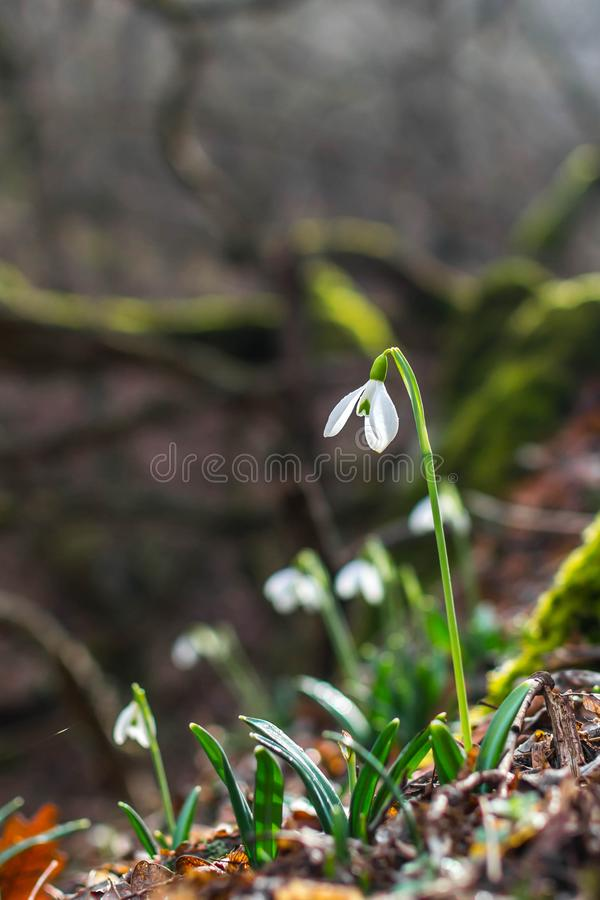 Fr?hlingswald mit snowdrops stockfotografie