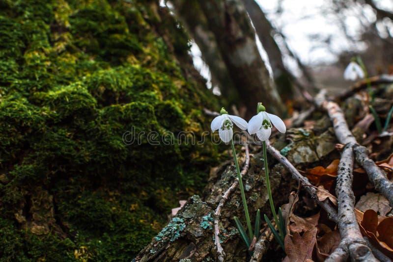 Fr?hlingswald mit snowdrops lizenzfreies stockfoto