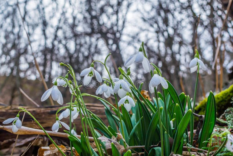 Fr?hlingswald mit snowdrops lizenzfreie stockbilder