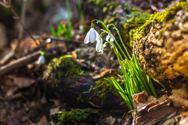 Fr?hlingswald mit snowdrops lizenzfreie stockfotografie
