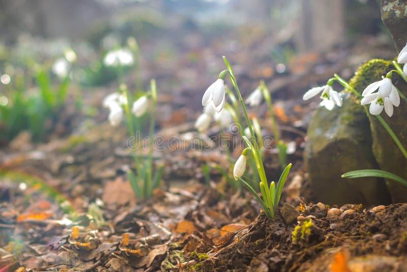 Fr?hlingswald mit snowdrops stockfotos