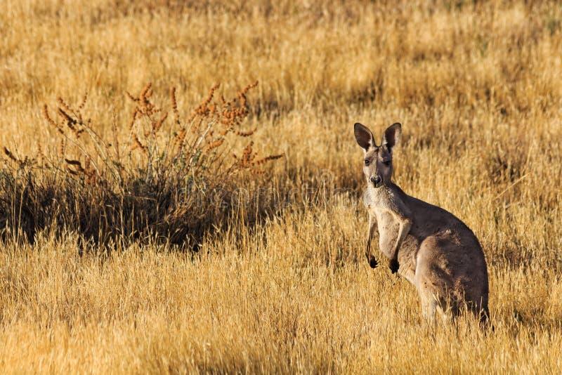 FR kangura koloru żółtego trawy obraz stock