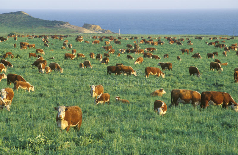 Frôlant des bétail de Hereford, sur PCH, CA photo stock