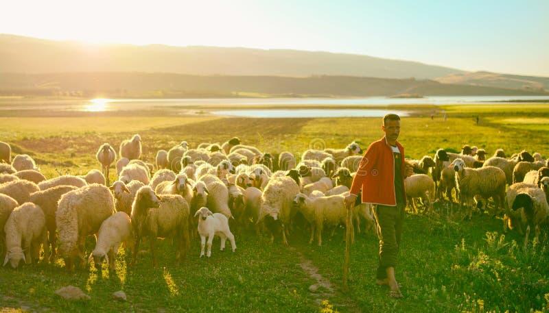 Frôle le troupeau de moutons photos libres de droits