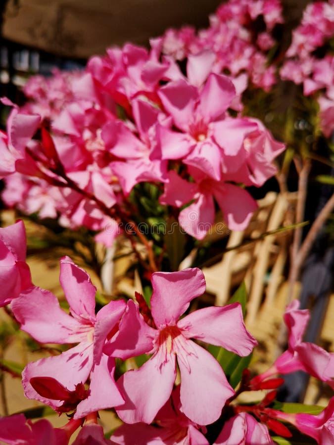 Fraîcheur en gros plan de fragilité d'usine fleurissante de tête de fleur de jour de fleurs de cerisier de nature image libre de droits