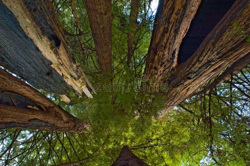 Fra i redwoods giganti immagini stock libere da diritti
