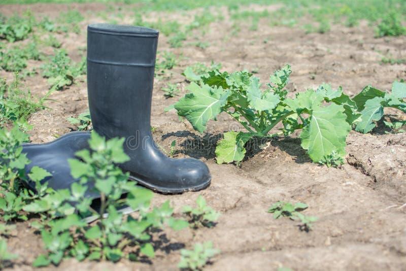 Fracaso de la cosecha debido a poca lluvia imagen de archivo
