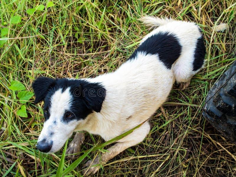 Fracaso del perro en la hierba mojada imagenes de archivo