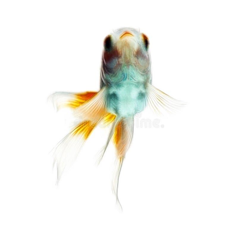 Fractales de poisson rouge d'isolement sur le blanc images libres de droits