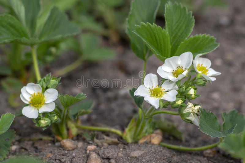 Fragaria ananassa flowering garden plant, group of white yellow flowers in bloom with green leaves. In daylight stock photo