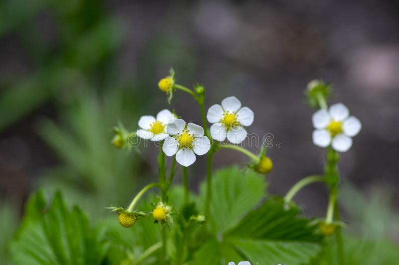 Fragaria ananassa flowering garden plant, group of white yellow flowers in bloom with green leaves. In daylight stock image