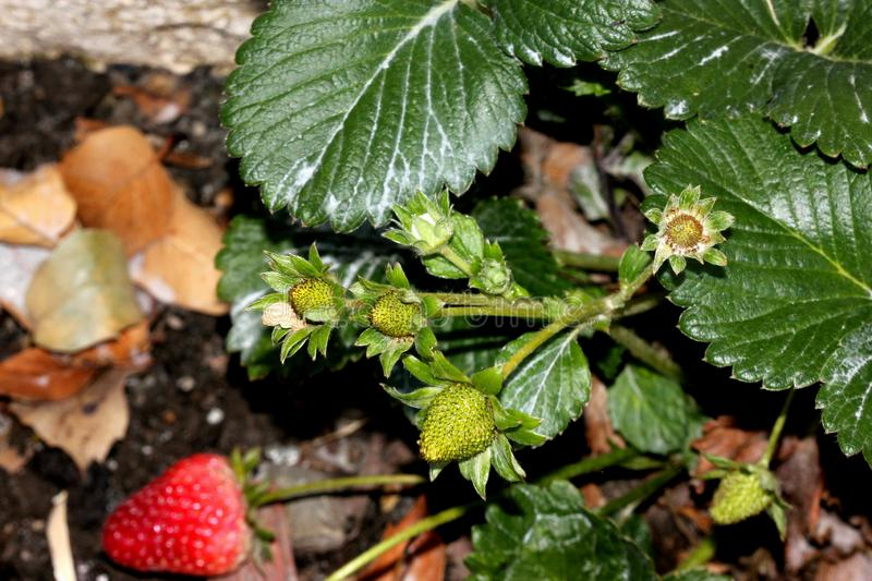 Fragaria x ananassa, Garden strawberry. Perennial spreading by runners, with trifoliate leaves, white flowers and red fruits with numerous seeds stock photography