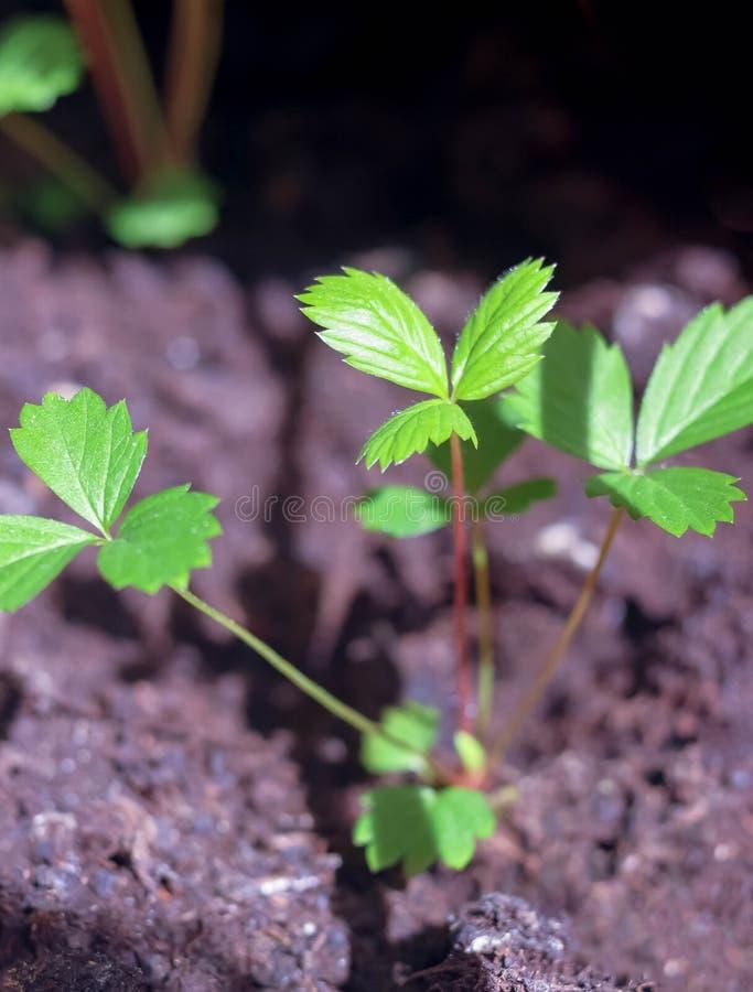 A Fragaria verde nova da morango de jardim deixa as plântulas dos brotos da planta que crescem na terra na mola imagens de stock royalty free