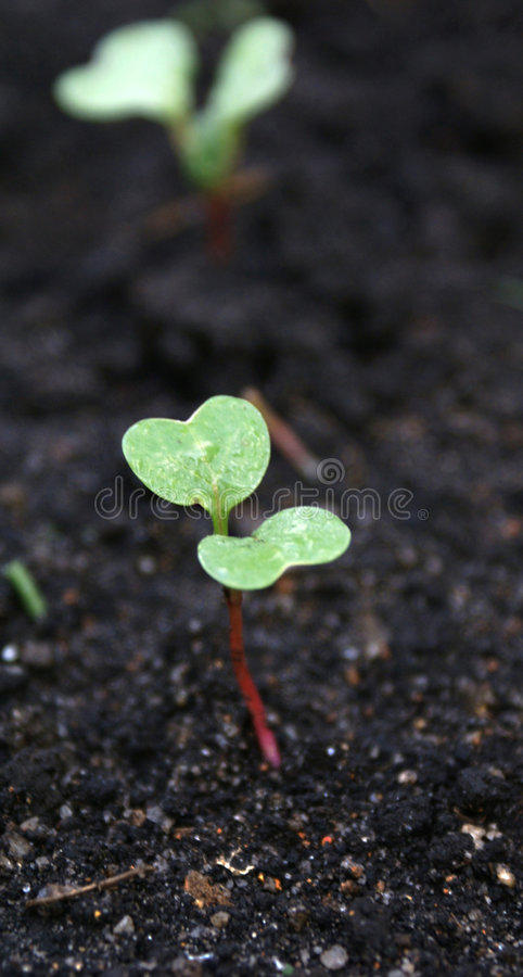 Fragile. The growth of a young and fresh plant with the dark earthy background stock photography