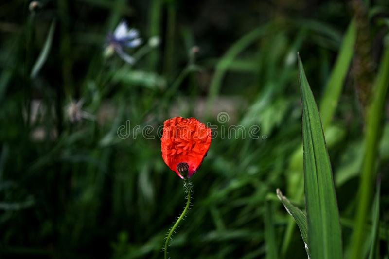 Fragile beaty...garden of pleasure. Red weed in his loneliness royalty free stock images