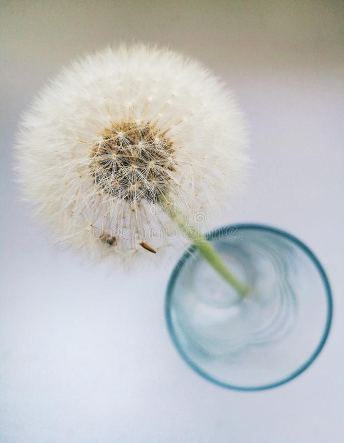 Fragile beauty of dandelion. Single flower stock images