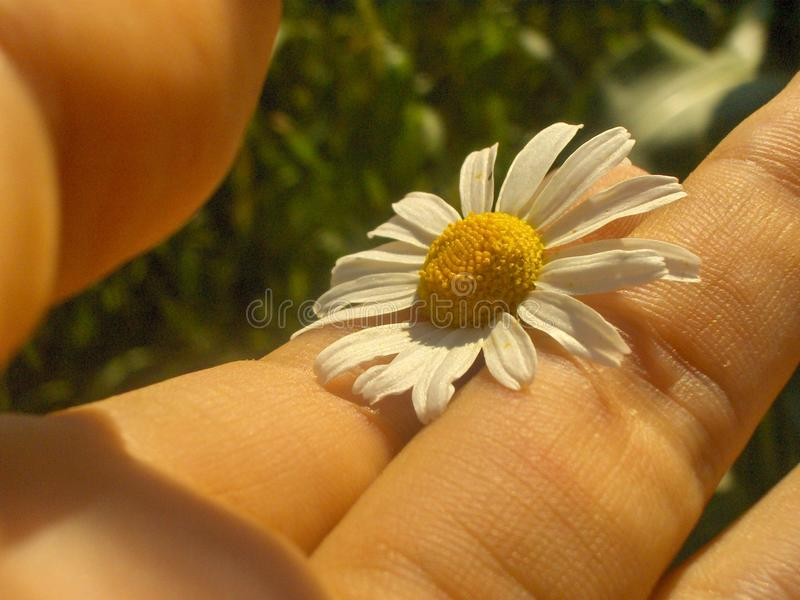 Fragile chamomile between the fingers stock photography