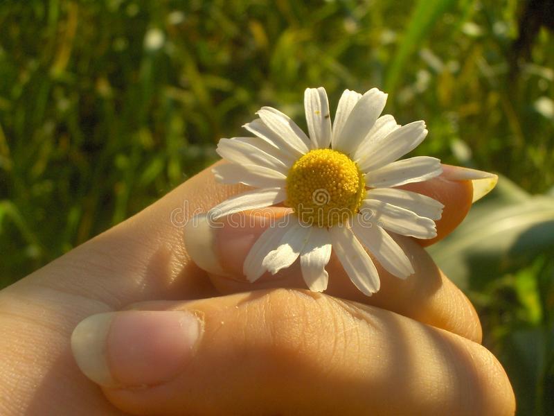 Fragile chamomile between the fingers royalty free stock photo