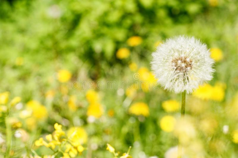 Fragile dandelion on a green meadow royalty free stock image