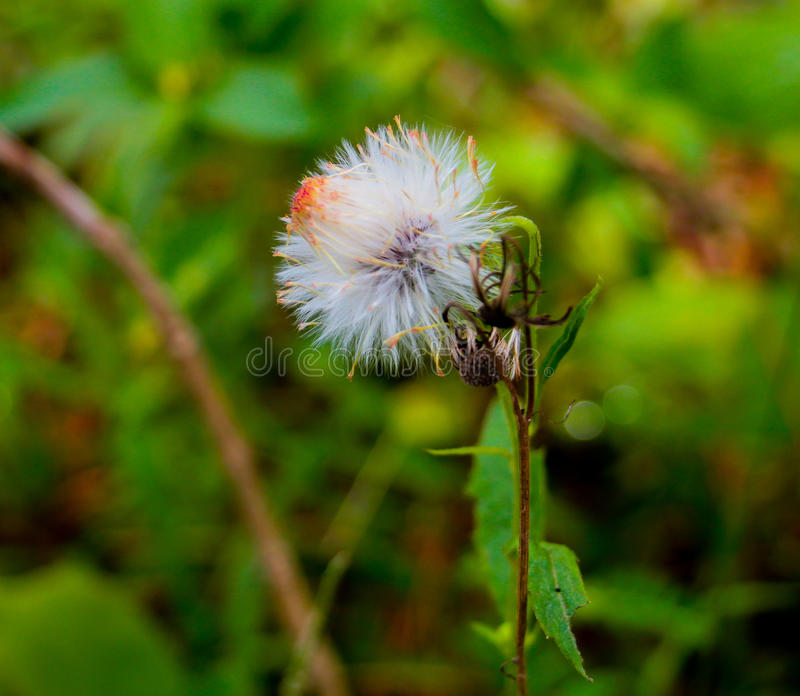 Fragile Flower. Flowers are always a good sight. This photo was taken in Tagaytay, Philippines stock images