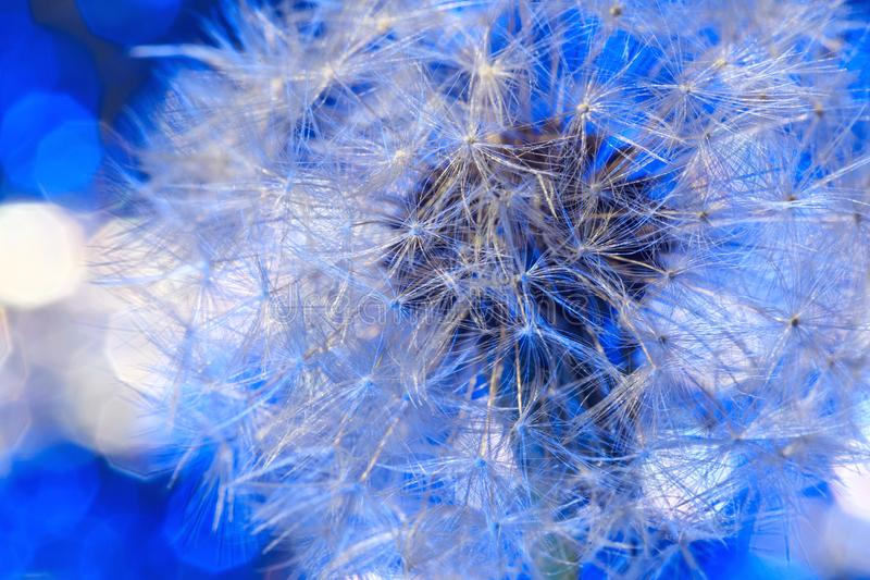 White fragile fluff of dandelion blowball on blue background. Parachut stock photography