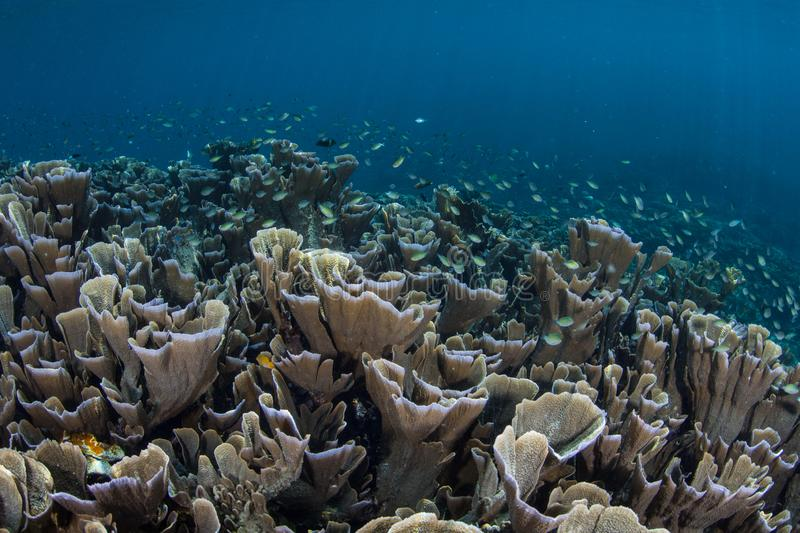 Fragile Corals and Fish in Raja Ampat. Fragile yet healthy corals grow on a shallow coral reef in Raja Ampat, Indonesia. This part of the world is known for its stock image