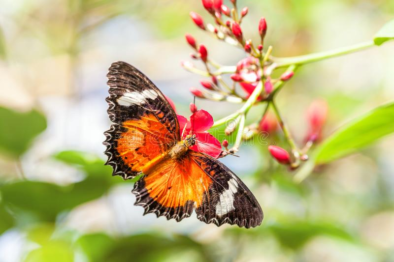 A fragile orange bright butterfly collects nectar on a pink flower. stock photos