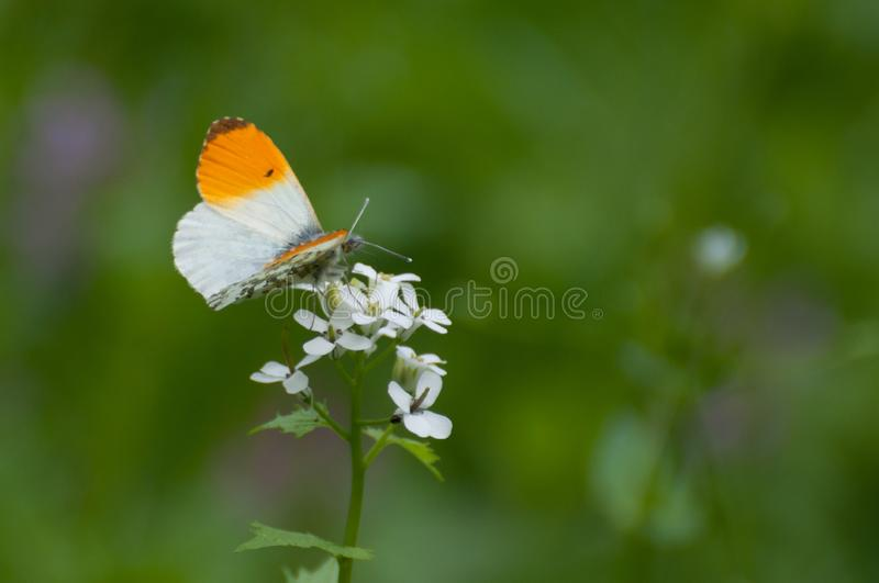 Fragile orange and white butterfly, Anthocharis cardamines. Splendid fragile orange and white butterfly Anthocharis cardamines on white small flowers stock photography